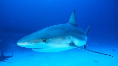 Tauchgang mit dem Weißen Hai